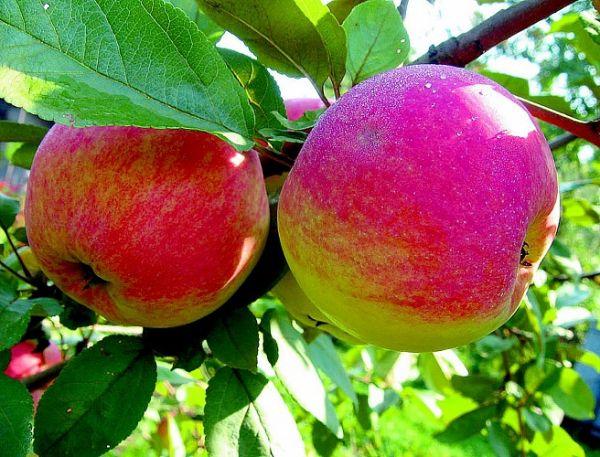Летние сорта яблок, яблони, , сорта яблонь, яблоки