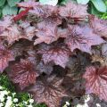"Гейхера Американская ""Heuchera americana 'Palace Purple Select'"""
