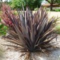 Формиум вязкий phormium tenax 'Purpureum'