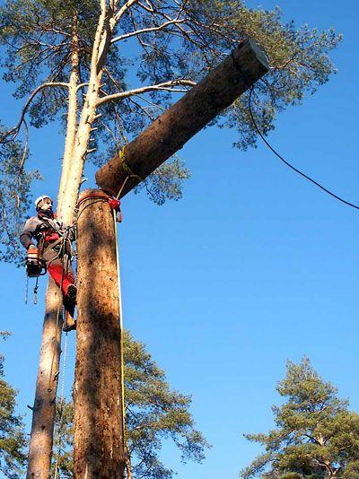 Правила и методы валки деревьев промышленными альпинистами