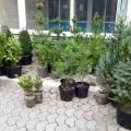 Кедр Сибирский, саженцы плодовых и декоративных растений. Озеленение территории.